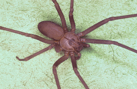 a brown recluse spider bit me now what mercy