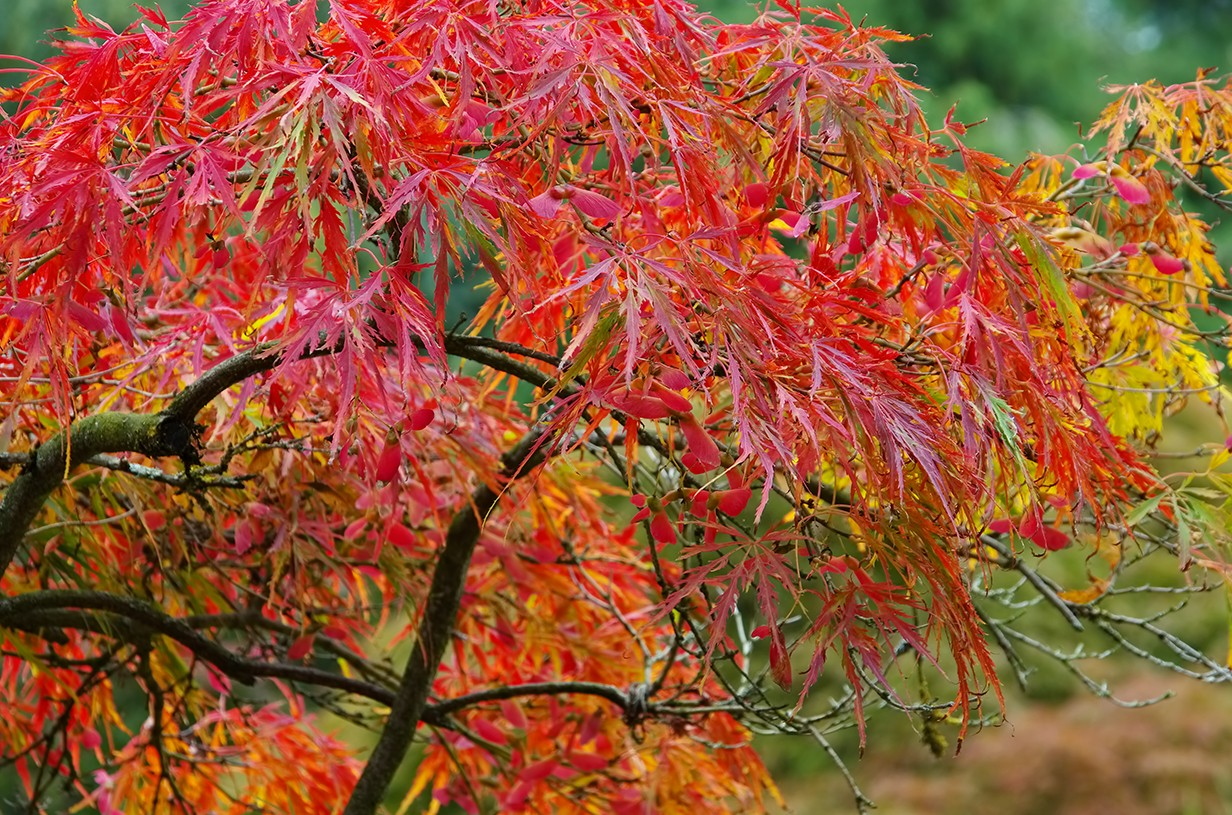 Japanese maples will be planted at all Mercy hospitals to commemorate Sister Roch's many contributions.